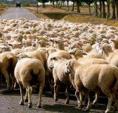 sheep-13779_960_720